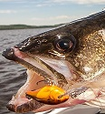 Tips For Walleyes With Cranks 1