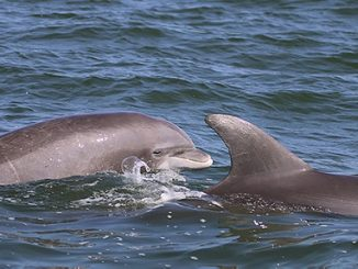 Dolphins more common in Potomac than previously thought