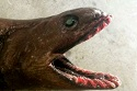 Frilled Shark Catch in Victorian Waters