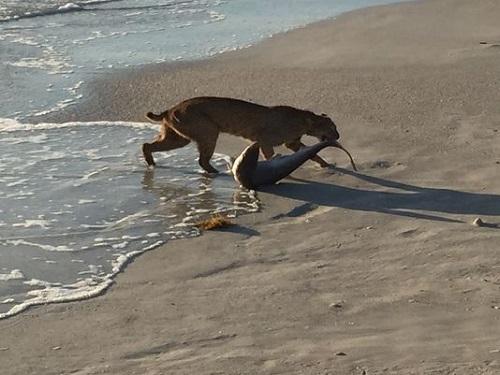 Photographer catches bobcat fishing for shark 1