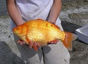 Giant Goldfish Swim In Toronto Lakes, Ponds and Rivers