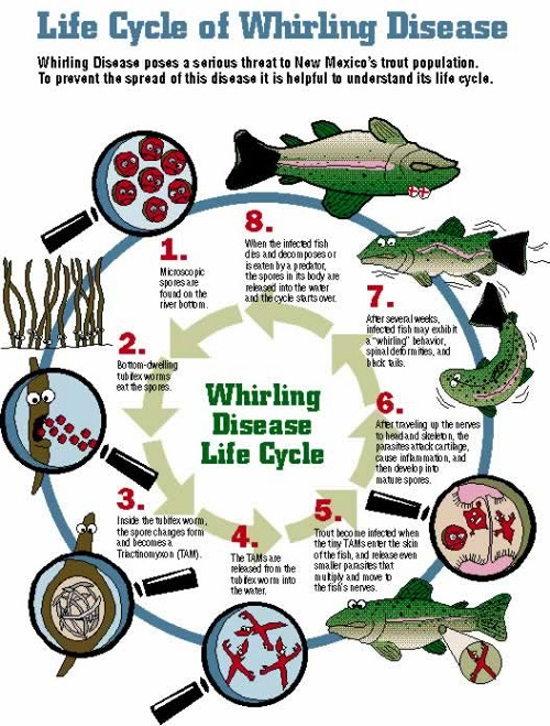 New Mexico Wildlife Image - Whirling Disease Life Cycle