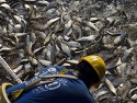 Are fish 'evolving to avoid trawler nets