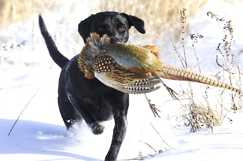 Dustin Owen, of Omaha, with his Labs Minnie and Bo during a pheasant hunt in Colfax County