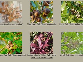 New Red Oak Hybrid from Mossy Oak Nativ Nurseries