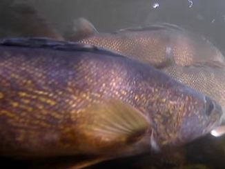 Spawning Walleyes--Up Close and Personal