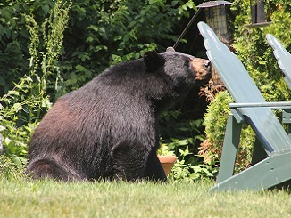 Sharing Land with Black Bears