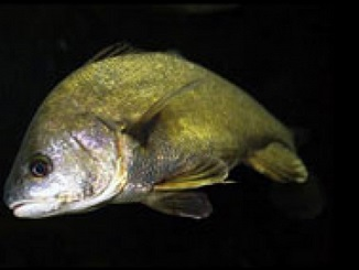 Six Reasons to Fish for Freshwater Drum