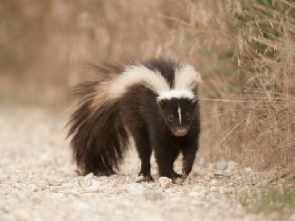 Young skunks strike out on their own in August