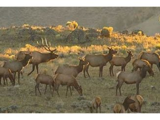 RMEF BOWHUNTING-Strategies for Bulls on Public Land
