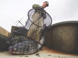 Shad and herring on the dinner plate for flatheads