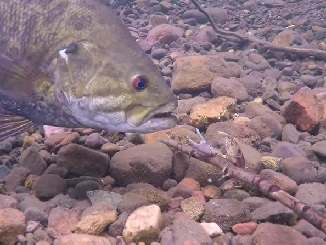 Video - Crayfish That Evade Big Bass