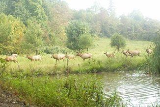 A Growing Elk Herd in Virginia