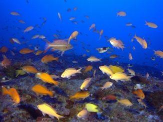 Hawaiian deep coral reefs home to unique species