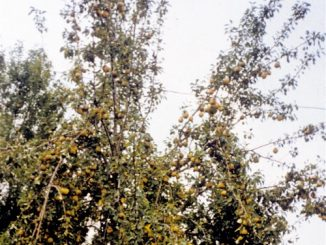 Make Chestnut Hill's Fruit Trees Part of Your Habitat Management Program