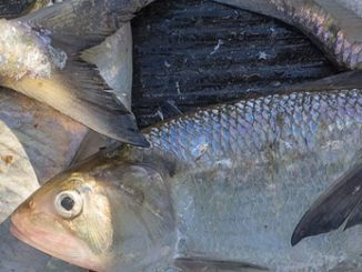 Search the Bay Journal site-New plan to protect shad and river herring rebuffed