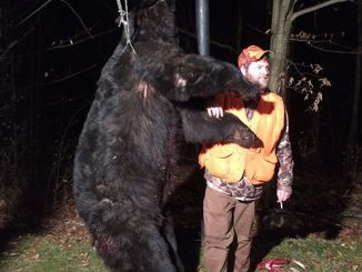 How many bears did Pennsylvania hunters kill in the 2016 rifle hunting season? One was a 666-pounder.