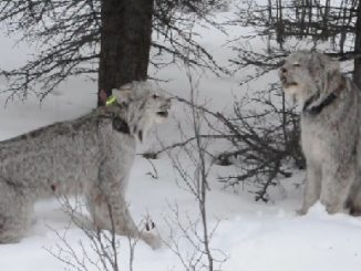 Yukon Lynx Yowling (Video)