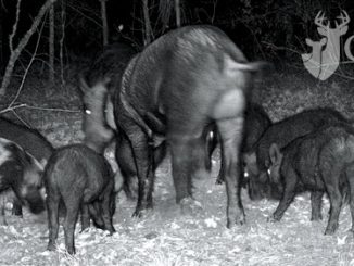 Feral Hogs Are Spreading, But You Can Help Stop Them