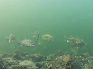 MyNorth News- Ancient Strain of Lake Trout Discovered in Elk Lake