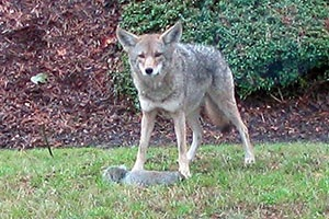 Tips for living with coyotes in urban areas