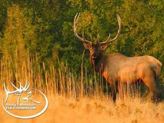 Colorado Elk Herd in the Crosshairs