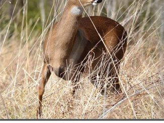 U.S. Hunters Take More Mature Bucks Than Yearlings for Second Year in a Row