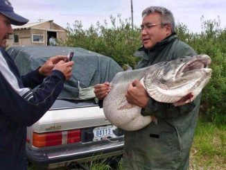 83 lb lake trout