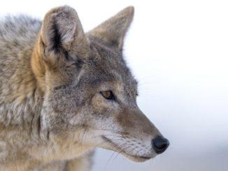 Coyote Calling Nuances