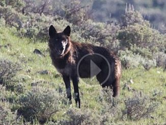 DC Court Rules in Favor of Wyoming Wolf Delisting