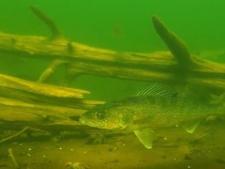 Engbretson Underwater Photography-Secret Life of Walleyes