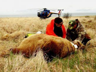 Kodiak Brown Bears Thrive on Sitkalidak Island