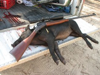 The Cause of Feral Hog Overpopulation