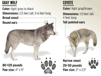 ASK RMEF - How to Tell a Wolf vs a Coyote