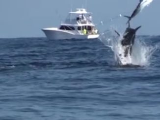 AMAZING BLUE MARLIN FOOTAGE