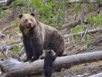 DOI Announces Recovery and Delisting of Yellowstone Grizzly Population