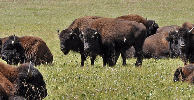 DSC Supports Rep. Gosar on Introduction of Grand Canyon Bison Management Act