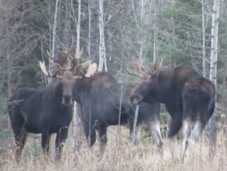 Dangerous encounter with three rutting giant bull moose