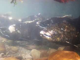 A new NOAA Fisheries program monitors salmon habitat in Puget Sound