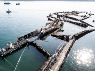 Farmed Atlantic Salmon Escape Broken Net In Washington
