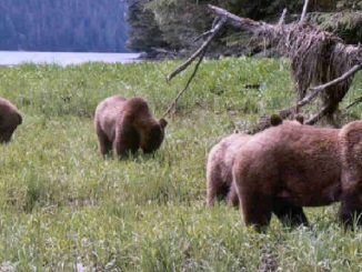 Politics Trump Science in British Columbia Grizzly Bear Hunting Ban