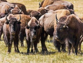 National Park Service Will Seek Volunteers To Cull Bison In Grand Canyon National Park