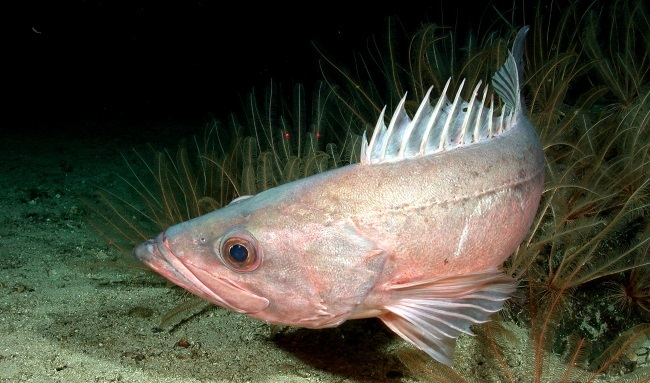 Protected Waters Foster Resurgence of West Coast Rockfish