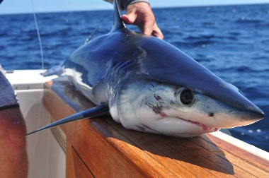 Shark fishing tips from out friends in new york for Fishing in new york
