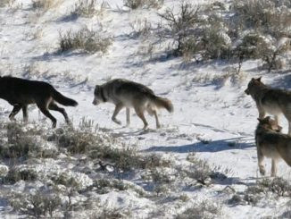 RMEF Grant to Benefit Montana Wolf Management