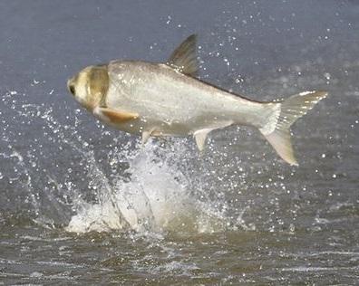 Arkansas Slates Commercial Harvest of Asian Carp on Lake Chicot