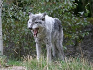 Oregon Hunter Kills Wolf in Self Defense
