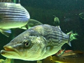 Striped bass reproduction in Bay a bit above average, surveys show
