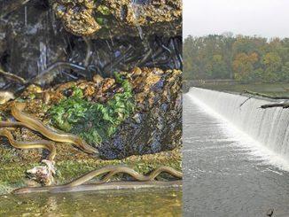 Biologist fighting uphill battle to get eelways built on Potomac dams