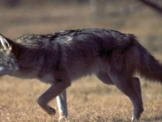 DNR offering free lifetime hunting license for killing coyotes